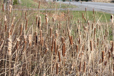arise: Cattails grow in dense stands. Like most colonial plants, they arise from stems, growing in the mud topped with brown cigar shaped flower heads. Stock Photo