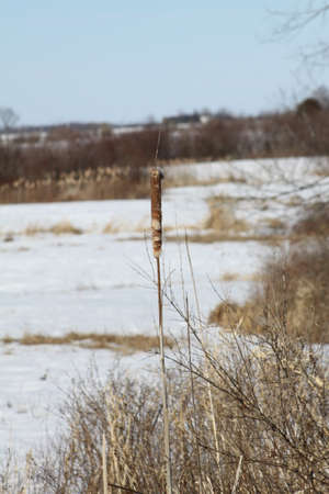 cattails: Cattails in a snow filled marsh in the winter .