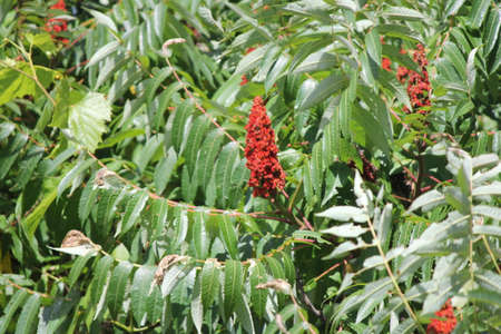 staghorn: Staghorn Sumac bush and red bobs growing beside a country road. It is primarily found in the Northeastern and Midwestern United States, Southern  Eastern Ontario. Stock Photo