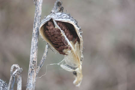 very cold: Dried out, burst open, milkweed pods, in early winter, with some silky seeds still attached, on a very cold day in the cold winter season.