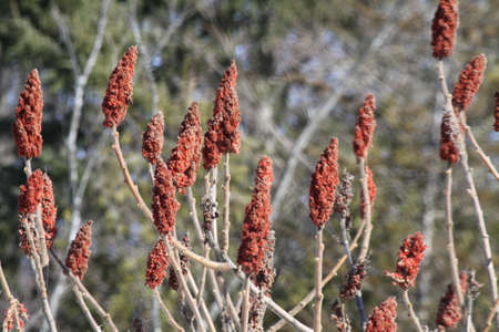 staghorn: Staghorn Sumac bush full of red Bobs growing beside a country road. It is primarily found in the Northeastern and Midwestern United States, Southern  Eastern Ontario. Stock Photo