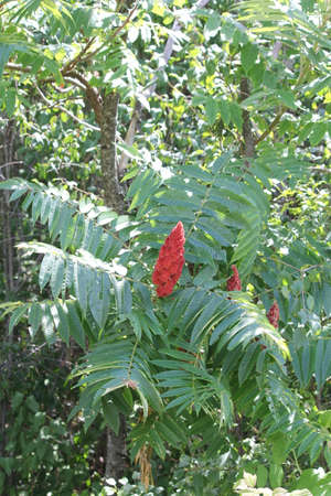 staghorn: Staghorn Sumac bush and some red Bobs growing beside a country road. It is primarily found in the Northeastern and Midwestern United States, Southern  Eastern Ontario.