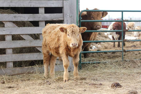 Brown bull calf wandering on the outside of a holding-transfer pen. Фото со стока