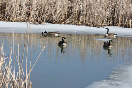 branta: Canada geese (Branta canadensis) swimming in a fresh thawing marsh area in early spring.