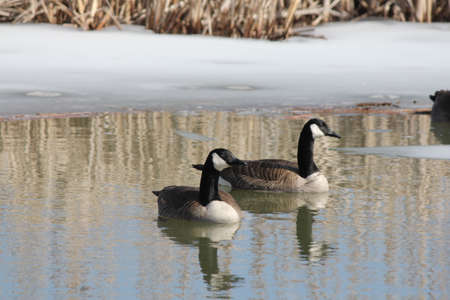 thawed: Canada geese (Branta canadensis) swimming in a freshly thawed marsh area in early spring.
