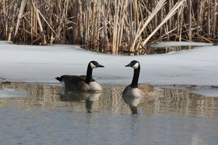 branta: Canada geese (Branta canadensis) swimming in a freshly thawed marsh area in early spring.
