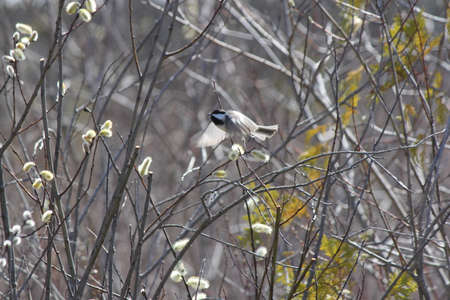 chickadee: Catkins on the branches of a Pussy willow tree (Salix discolor) early in the spring season, with a little bird (chickadee) in the branches.