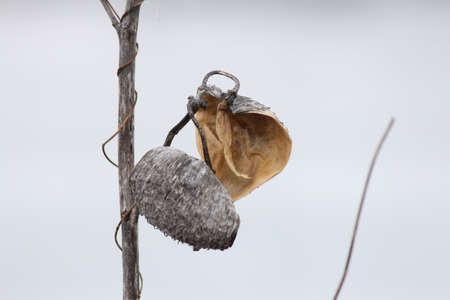 very cold: The dried stalk and empty seed pod of a milkweed plant, on a very cold day in the winter season.