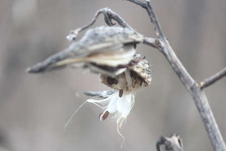 graying: Dried out, burst open graying milkweed pods, with some silky seeds still attached, on a very cold day in the cold winter season. Stock Photo