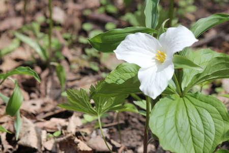 trillium: White Trillium (Trillium grandiflorum) blooming in woodlands.  Ontario provincial flower