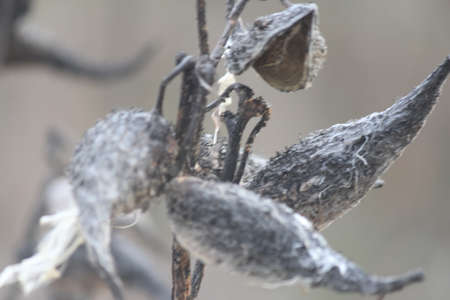 very cold: Dried out, burst open graying milkweed pods, with some silky seeds still attached, on a very cold day in the cold winter season. Stock Photo