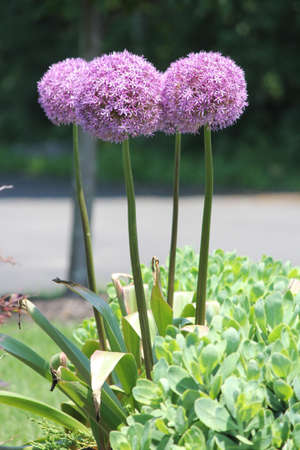 allium flower: Purple giant onion (Allium) flower Stock Photo