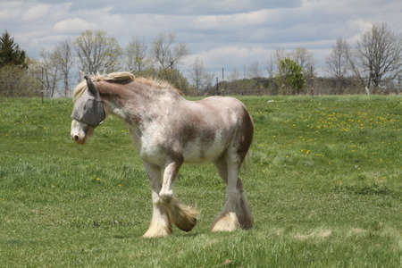 eye shade: Skinny, white and beige long hair horse wearing a sunshade, while in a small pasture.
