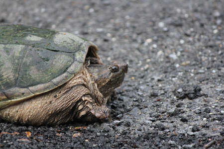 aquatic reptile: The Snapping Turtle is the largest freshwater turtle found in Canada. Found on side of s country road near a swampy area.