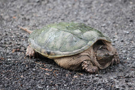 swampy: The Snapping Turtle is the largest freshwater turtle found in Canada. Found on side of s country road near a swampy area.