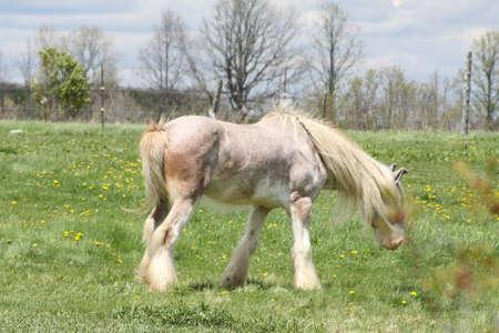 Skinny, white and beige long hair horse wearing a eye sunshade.