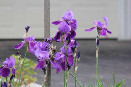versicolor: Blue flag flower (Iris versicolor) growing in a small flower garden Stock Photo