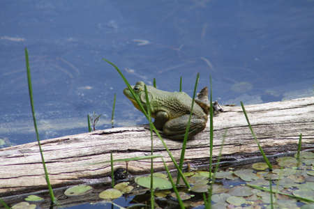 bullfrog: American Bullfrog sitting on an old log near the shore of a large swamp on a hot day.