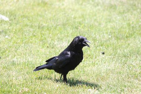 hot day: American Crow (Corvus brachyrhynchos) walking through the moist grass on a hot day Stock Photo