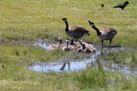 Little goslings cooling down in a small water filled puddle with adult geese close by.