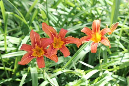 Orange day lily (Hemerocallis) beside an old country road. Day lilies are rugged, adaptable, vigorous perennials and comes in a variety of colors Stock Photo