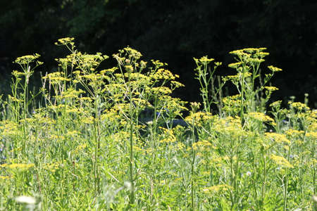 Yellow head and seeds of a poisonous Wild Parsnip weed growing alongside a country road. During much of July, August and early September wild parsnip is one of the most visible yellow-flowered weeds in roadside ditches, public recreation areas, around spo Stock Photo