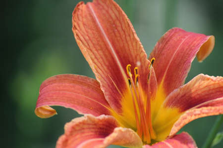 adaptable: Orange day lily (Hemerocallis) beside an old country road. Day lilies are rugged, adaptable, vigorous perennials and comes in a variety of colors Stock Photo