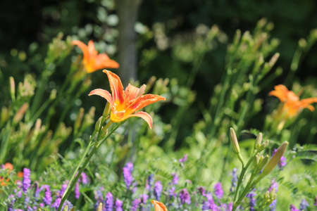 perennials: Orange day lily (Hemerocallis) beside an old country road. Day lilies are rugged, adaptable, vigorous perennials and comes in a variety of colors Stock Photo