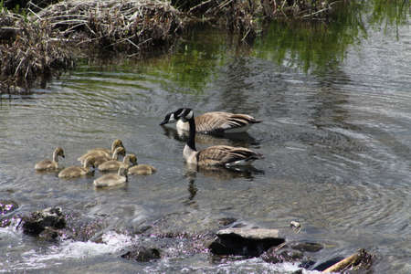 Canada Geese and Goslings swimming in slow moving creek. Stock Photo