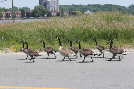 Canada Geese and older goslins walking on a paved roadway.