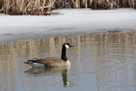 Canada goose swimming in a clear area at the edge of a small swamp in erly spring. Ice still present.