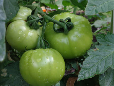 Green, unripe tomatoes, growing on a vine in a small garden.