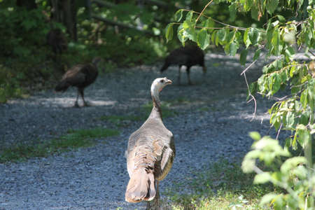 Turkey, Wild  (Meleagris gallopavo) walking on the grassy area beside  a gravel country laneway.