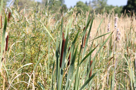 Cattails in a country roadside ditch in eastern Ontario Stock Photo