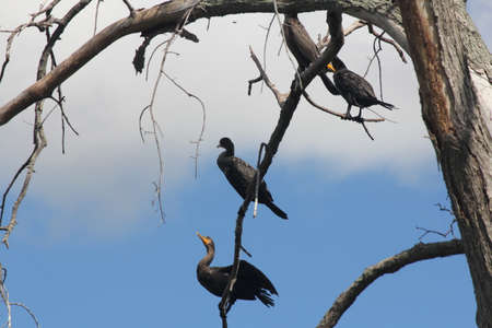 Double-crested cormorants (Phalacrocorax auritus) in a bare tree beside a large river. Against blue sky.
