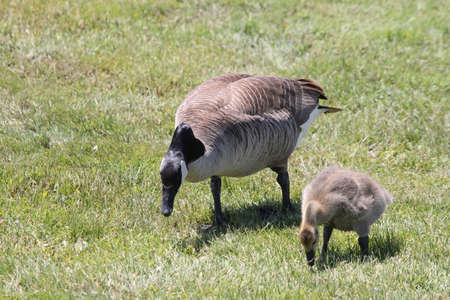 branta: Canada Goose and Gosling (Branta canadensis) foraging in the grass for something to eat. Stock Photo