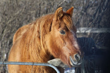 Brown colored horse in a small enclosed corral, looking over the top of fence. Stock Photo