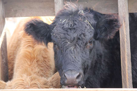 struts: Cow with head between wooden struts of fence on holding pen, mouth full of straw