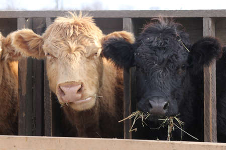 Cows with head between wooden struts of fence on holding pen, mouth full of straw Stock fotó