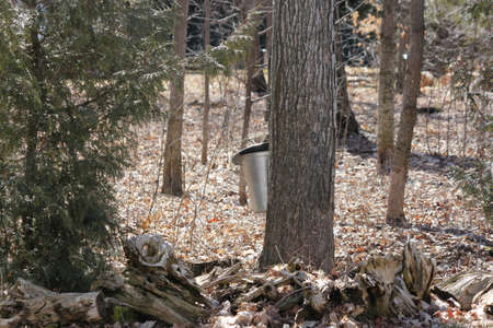 se: Metal sap bucket attached to a maple tree to catch sap drippings for making maple syrup in early spring in a small sugar bush in S.E. Ontario. Stock Photo