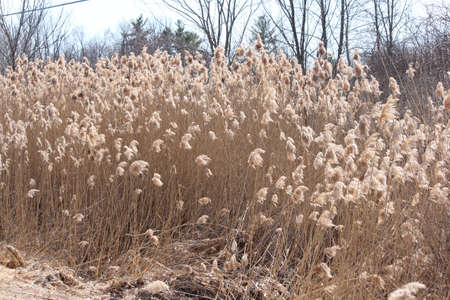 Blowing in the wind, Phragmites australis  found along a roadside ditch in S.E. Ontario. This common invasive reed is important (together with other reed-like plants) for wildlife and conservation, but is causing serious problems for many other North Amer Reklamní fotografie - 81043537