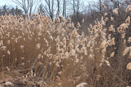 Blowing in the wind, Phragmites australis  found along a roadside ditch in S.E. Ontario. This common invasive reed is important (together with other reed-like plants) for wildlife and conservation, but is causing serious problems for many other North Amer