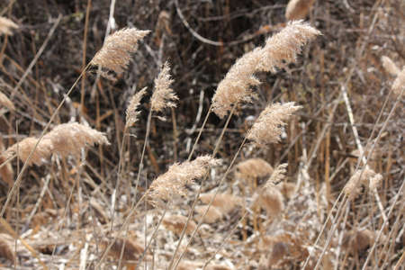Blowing in the wind, Phragmites australis  found along a roadside ditch in S.E. Ontario. This common invasive reed is important (together with other reed-like plants) for wildlife and conservation, but is causing serious problems for many other North Amer Reklamní fotografie - 80000578