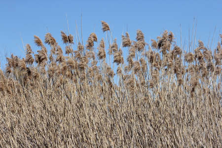 Blowing in the wind, Phragmites australis  found along a roadside ditch in S.E. Ontario. This common invasive reed is important (together with other reed-like plants) for wildlife and conservation, but is causing serious problems for many other North Amer Reklamní fotografie - 81043539