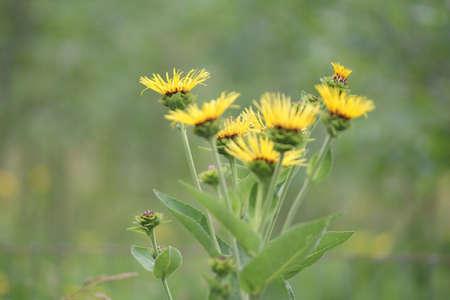 Flores Amarillas De Plantas Medicinales Elecampane Inula Helenium