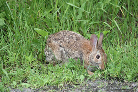Eastern Cottontail rabbit (Sylvilagus floridanus) in the lush grass beside an old country road 版權商用圖片