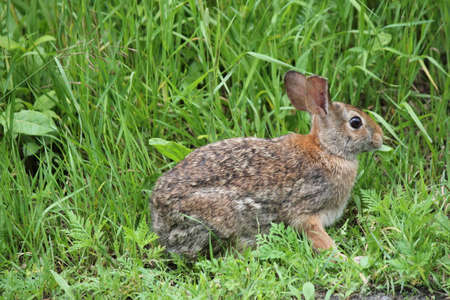 Eastern Cottontail rabbit (Sylvilagus floridanus) in the lush grass beside an old country road Stock Photo