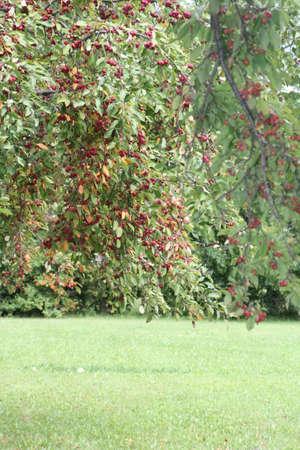 手入れの行き届いた敷地の木に赤いカニりんごがいっぱい枝 写真素材