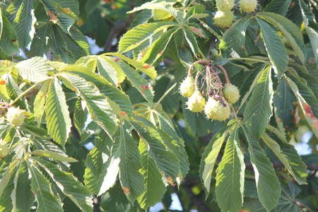 Chestnut conkers in pods growing on the tree Imagens