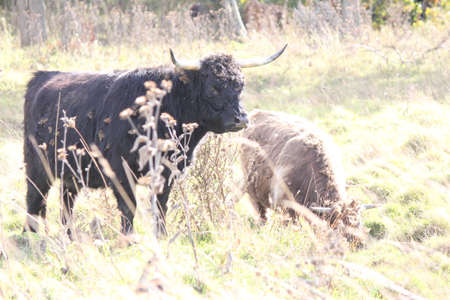 Black shaggy haired cow, with burrs stuck in hair, after walking through a weed filled field. Reklamní fotografie